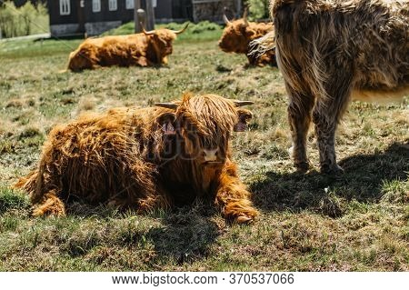 Close Up Of Highland Cattle In Field.highland Cow In A Pasture Looking At The Camera Rural House In