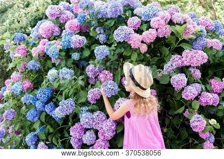 Little Girl Smell Big Hydrangea Bushes In Garden. Pink, Blue, Lilac Flowers Blooming In Spring And S