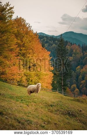 Sheep Grassing In A Mountain Valley On A Wooden Fence Background At Daytime In Fall. Marvelous View