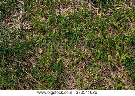 The Texture Of Green Grass. Young Grass. Spring Lawn. Background Image Of Shallow Green Grass. Herba
