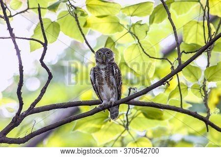 Asian Barred Owlet ( Glaucidium Cuculoides) In Tropical Forest, Thailand
