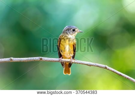 Ferruginous Flycatcher (muscicapa Ferruginea ) On The Branch In The Nature