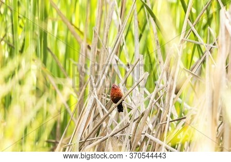 Red Avadavat,red Munia Or Strawberry (amandava Amandava) Finch Perching On Grass Red Avadavat Is Sma