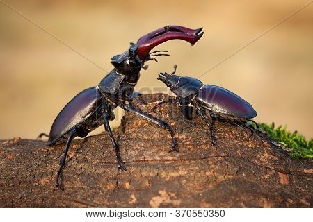 Male Stag Beetle Standing Above Female And Protecting Her In Summer Nature.