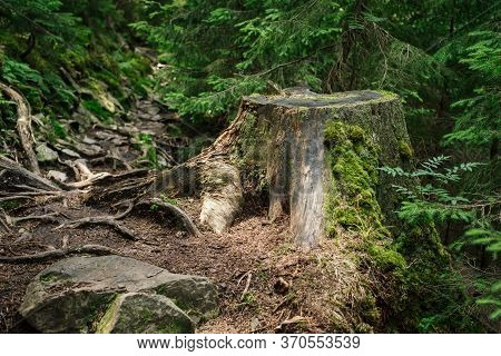 Tree Stump After Deforestation In Mountain Forest
