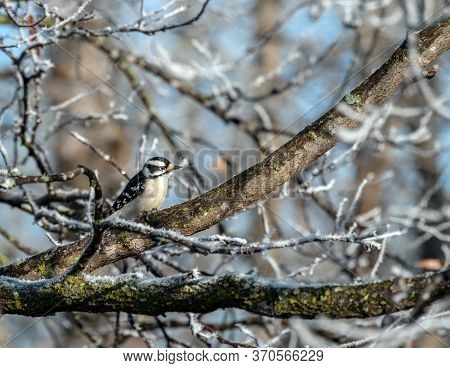 An Adorable Little Downy Woodpecker Is Perched On A Frosty Limb On A Cool Morning In Missouri. Bokeh