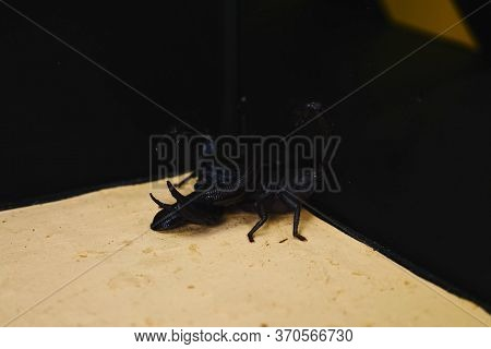 Scorpion With A Leech In The Terrarium. Black Scorpion Is A Poisonous Arthropod And Bloodsucking Lee