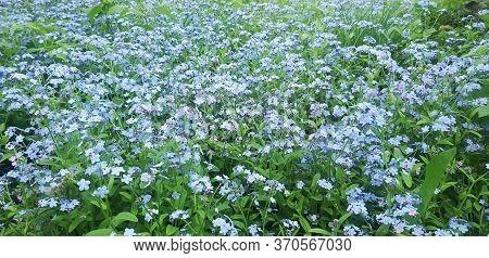 Beautiful Flowers In The Meadow. Myosotis. Spring Flowers.