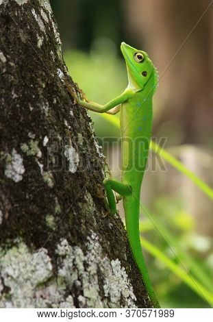 Crested Green Lizard (bronchocela Cristatella) On Tree Trunk. This Species Is A Bright Green Lizard,