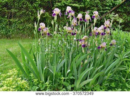 Beautiful Violet Flower - Iris. South Bohemia, Czech Republic