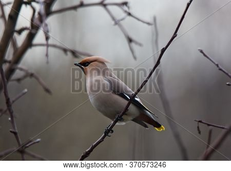 Bohemian Waxwing Colourful Tufted Bird Perching In A Cold Spring Day