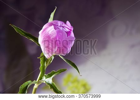 Pink Peonies Bouquet Closeup, Spring Flowers For Mother's Day On Ligh White Wooden Background. Weddi