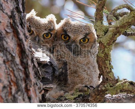 Two Baby Great Horned Owls Huddling Together On The Branch Of A Tall Pine Tree.