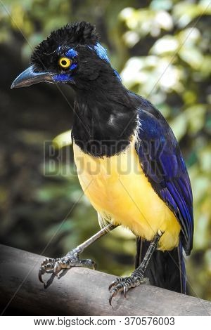 Fascinated Bird With Bright Blue And Yellow Feathers Standing On A Branch In A Tropical Rainforest.