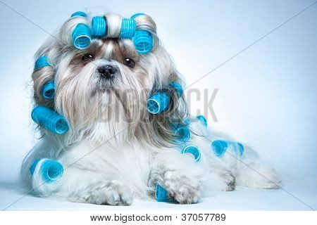 Shih tzu dog with curlers