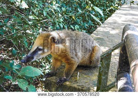 Coati In Iguazu National Park Misiones. Wildlife. Animal In The Rainforest. Endemic Animals In Argen