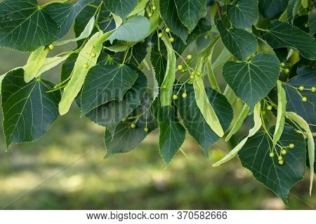 A Branch Of Lime Tree. Green Leaves Of A Linden Tree. Tilia Americana. Texture, Nature Background. B