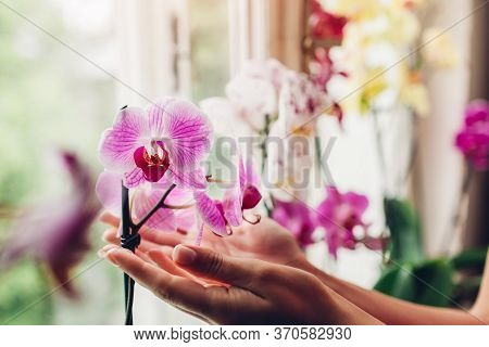 Woman Holding Orchids Flowers On Window Sill. Housewife Taking Care Of Many Different Home Plants .