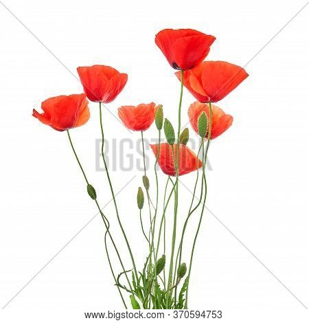 Red Poppies Isolated On White Background. Wild Spring Wildflower. Remembrance Day Background