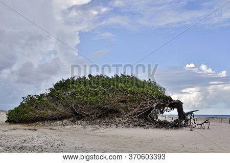 Tourist Attraction Laziness Tree In Jericoacoara, Ceara, Northeastern Brazil - Tourist Destinations