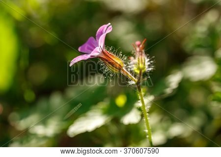 Herb Robert Gernium Robertinumhas Pink Blossom Close Up. It Been Used In The Folk Medicine, As A Tre