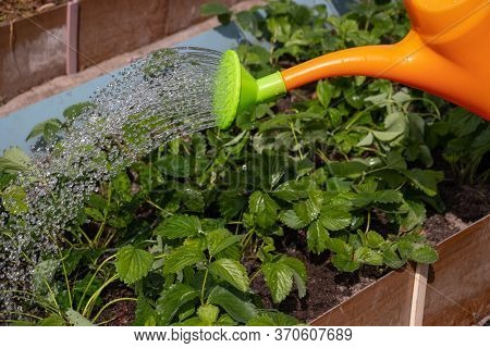 Watering The Beds With Strawberries. Jets Of Water Pour From The Watering Can On The Plants. Drops O