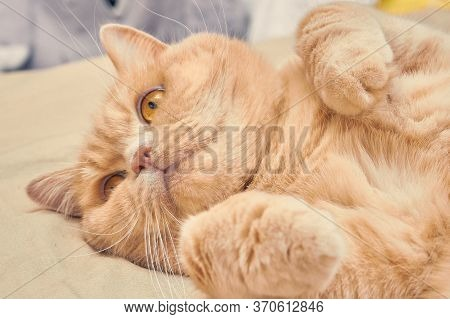 Ginger Cat With Pink Legs Lies Bastard On The Bed