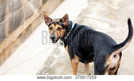 Rottweiler Breed Mixed With Labrador Breed Dog Standing On Concrete Floor Beside Brick Cement Dirty