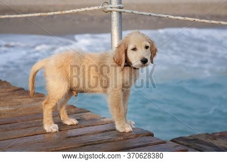 Portrait Of A Cute Puppy Dog Walking Along The Beach. Puppy Dog Waiting For Its Owner On The Pier.