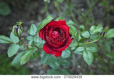 Top View Of An Unusually Beautiful Red Rose Blooming On A Bush In The Garden. Gardening Concept.