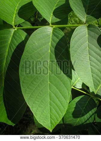 Close Up Of  Walnut Green Leaf In A Sunny Day. Green Leaves On A Walnut In A Vegetable Garden. Natur