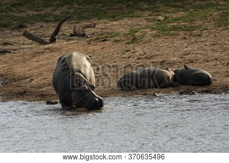 The Common Hippopotamus (hippopotamus Amphibius), Or Hippo Is Walking To The Dam From Shore With Two