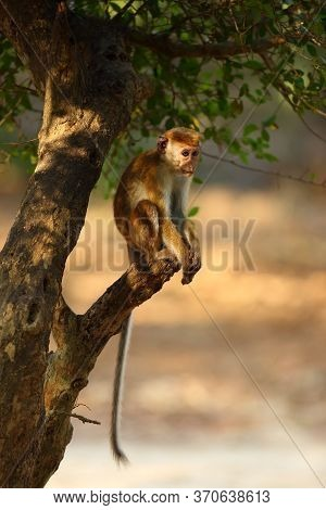 The Toque Macaque (macaca Sinica) Sitting On A Broken Branch Of A Tree Above The Water