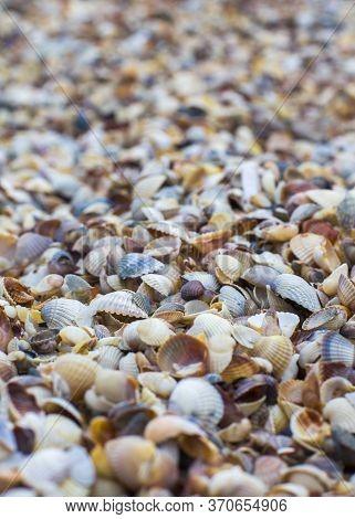 Seashells Texture, Pattern Closeup Background Beautiful Seashells