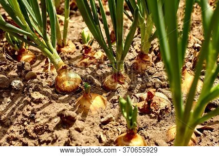 Garden Bed With Onions, Gardening And Farming Concept. Onions Growing In Garden In Rows In Open Grou