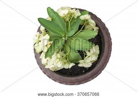 Top View Of Yellow Euphorbia Milli Or Crown Of Thorns Flower In Pot Isolated On White Background Inc