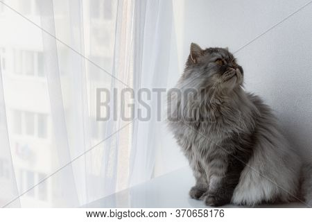 Grey Furry Cat Sitting By The Window. Grey Cat, Looking Out The Window, Cat Looks Out The Panoramic