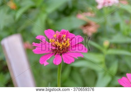 Closeup Picture Of Common Zinnia Flower With Blurred Background (selective Focus)