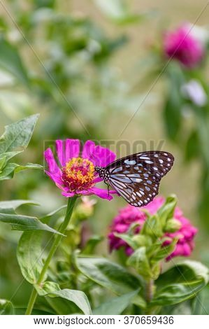 Beautiful Dark Blue Tiger Butterfly Is Collecting Nectar From Common Zinnia Flower In Nature, With B