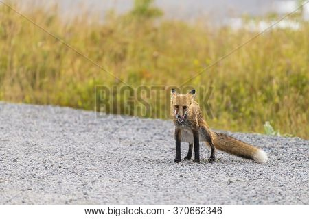 There Is Very Little Sexual Dimorphism In Red Foxes. However, When The Male Fox Cocks One Legs To Ur