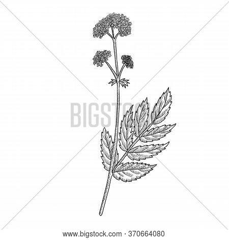 Vector Drawing Valerian, Valeriana Officinalis , Hand Drawn Illustration Of Medicinal Plant