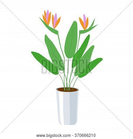 Strelitzia - A Large Domestic Plant In A Flower Pot. Green Leaves And Bright Orange With Pink Flower