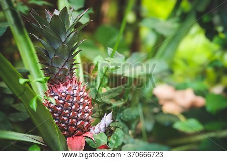 Growing Pineapple. Red Pineapple Or Pink Pineapple Is A Species Of The Pineapple. Ananas Bracteatusi