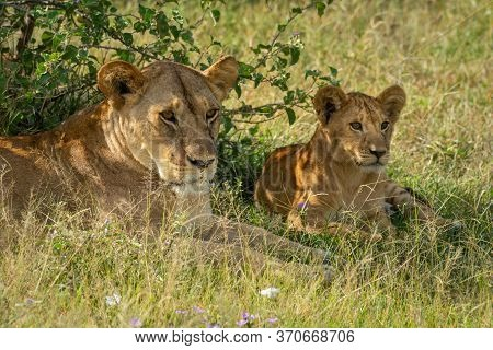 Close-up Of Lioness And Cub Lying Down