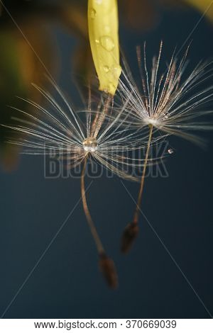 Close Up Of A Yellow Dandelion Flower With White Fluff And Dew Drops