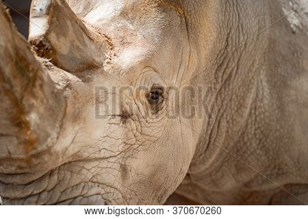 Close-up. Rhinoceros In The Zoo Aviary. Observation Of Wild Animals In Captivity.