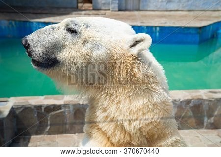 Polar Bear In The Zoo In The Aviary. Shooting Through Glass.