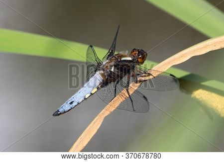 Broad-bodied Dragonfly Sitting On A Reed With A Blurred Background