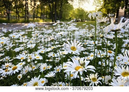 Flowering Of Daisies In The Summer Green Meadow. Oxeye Daisy, Leucanthemum Vulgare. Chamomile Flower