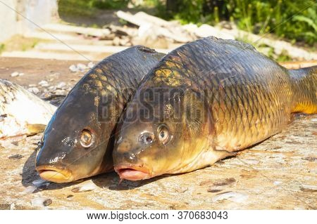 Fresh Carp (crucian Carp) Close-up. Fishing For Carp, Catch. Fresh Brushed Fish On The Board.